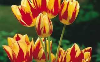 Посадка многоцветковых тюльпанов