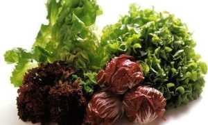 Скороспелые сорта салата