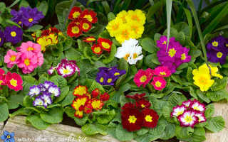 Однолетние растения которые можно посадить в тени