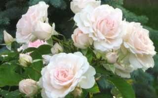 Роза моден блаш канадская