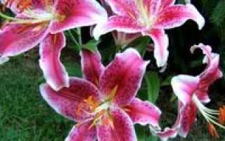 Как ухаживать за лилиями