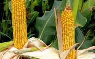 Самый лучший сорт кукурузы