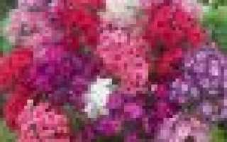 Выращивание флоксов посадка размножение уход