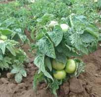 Выбираем лучшие сорта низкорослых помидор для теплиц