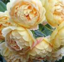 Группы роз имеющих пионовидную форму цветка