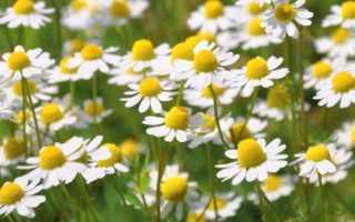 Какие ещё цветы похожи на садовые ромашки