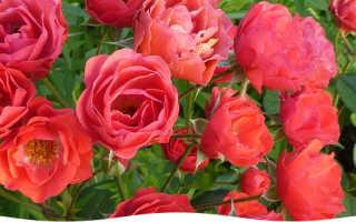 Уход за черенками роз в домашних условиях