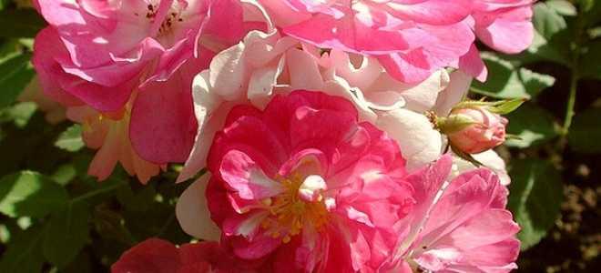 Роза китайская крылья ангела посадка и уход
