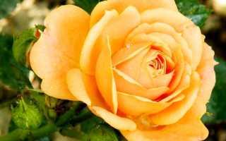 Роза эприкот клементина