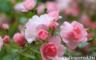 Роза комнатная виды фото и названия