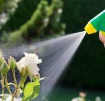 Правильный полив плетистых роз