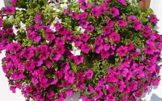 Как вырастить из семян дивные ампельные петунии