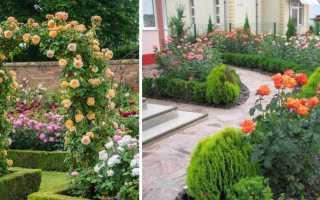 Розы на дачном участке фото