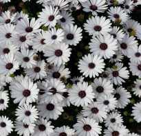 Белые цветы похожие на ромашки