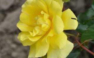 Роза golden showers основные характеристики сорта