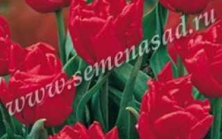 Тюльпан абба фото