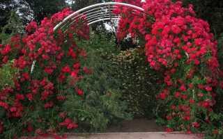 Плетистые розы и их использование