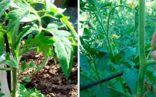 Зачем нужно прищипывание помидоры в теплице