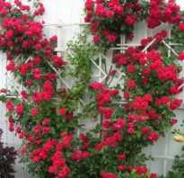Вьющиеся цветы для дачи фото с названиями