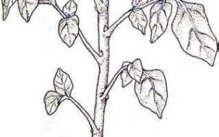 Какие растения размножаются клубнями