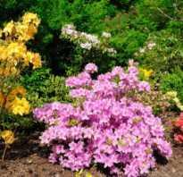 Азалия описание растения