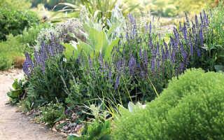 Шалфей дубравный в саду