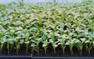 Перец выращивание и уход в теплице