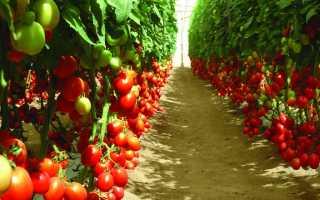 Лучшие индетерминантные сорта томатов для теплиц