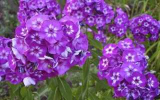 Сорта метельчатого флокса с белыми цветками