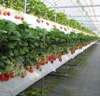 Голландская технология выращивания клубники земляники в теплице ↑