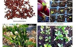 Как размножить рододендрон
