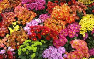 Хризантемы выращивание и уход в саду