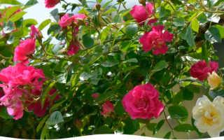 Укрывание роз на зиму в средней полосе