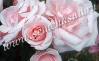 Роза диадем флорибунда