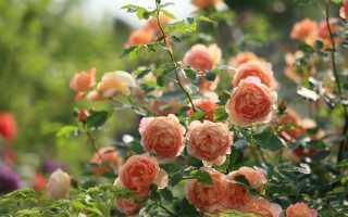 Чем подкормить весной розы