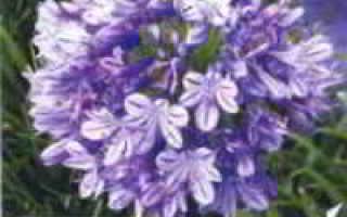 1 агапантус, или африканская лилия