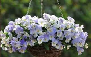 Виола Посадка и уход за растением