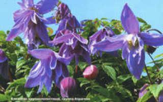 Ботаническое описание видов клематиса