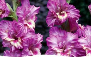 Выращивание гладиолусов как растить цветок из луковицы