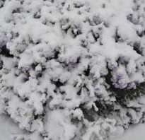 Как укрыть клематисы на зиму
