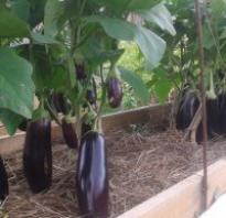 Баклажаны выращивание и уход в теплице
