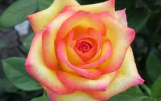 Роза «поль гоген», описание сорта