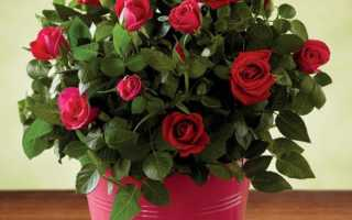 Уход за комнатной розой после покупки