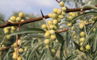 Джигда растение полезные свойства
