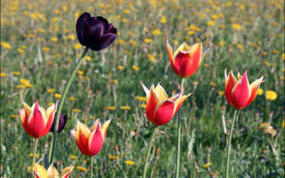 Черные тюльпаны фото