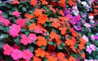 Цветы бальзамины фото уличные