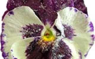 Как сделать засахаренные цветы