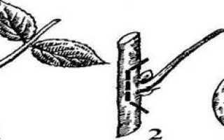 Щеплення живцями за кору з розрізом кори