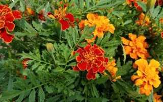 Цветы садовые однолетние фото и названия
